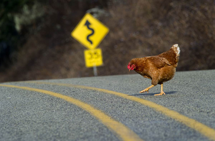 Funny Chicken Jokes: I Don't Like Jokes, I Don't Think They're Funny